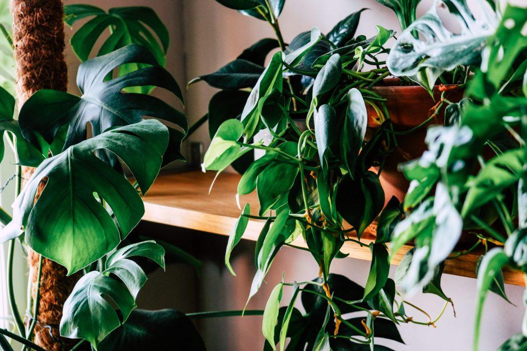 Plantes d'intérieurs